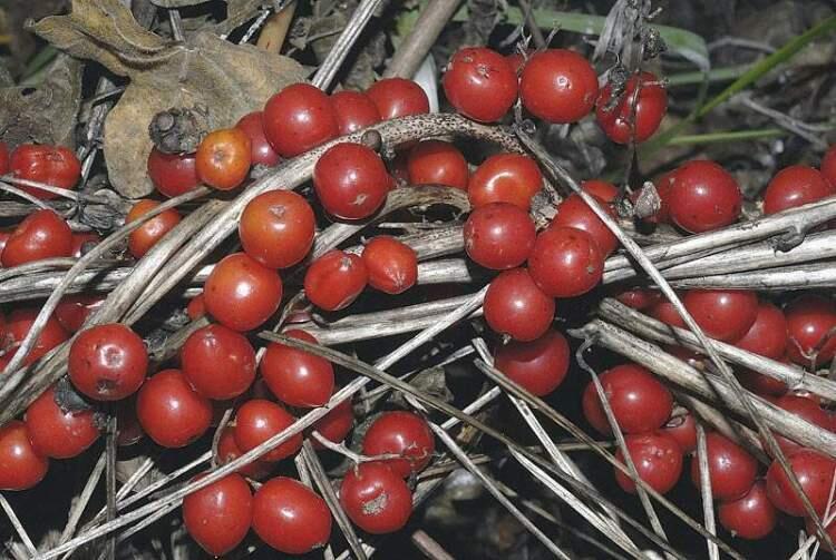 αβρωνιές φυτό