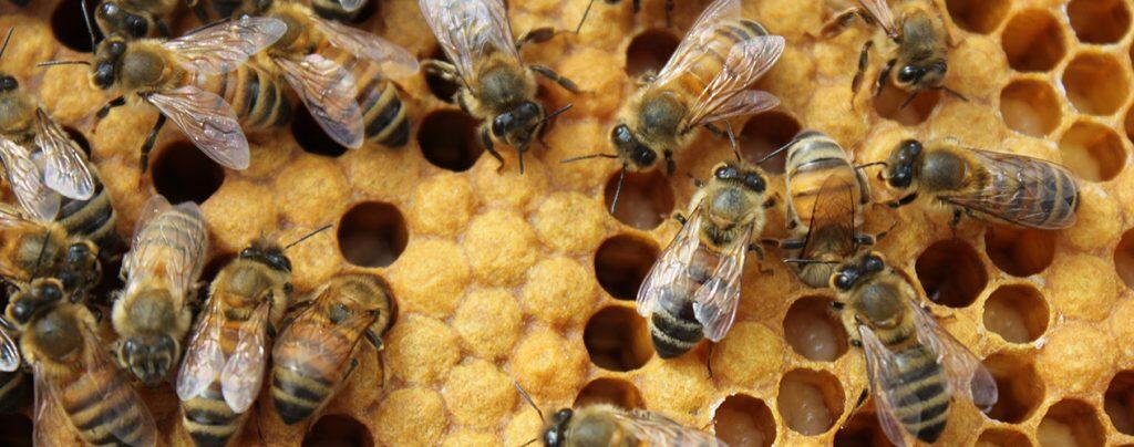 μέλισσες μελίσσι