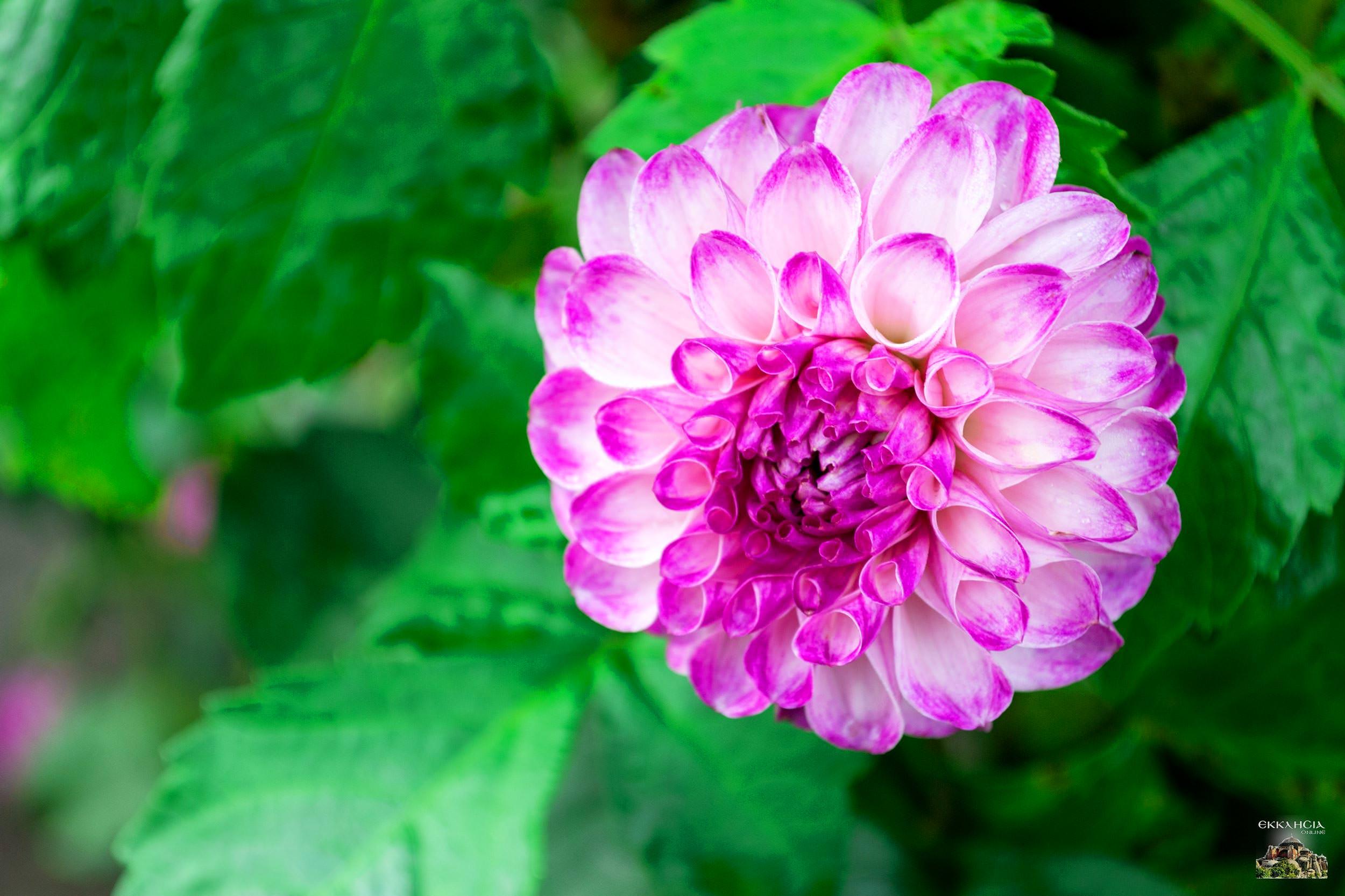 Γιορτή σήμερα λουλούδι