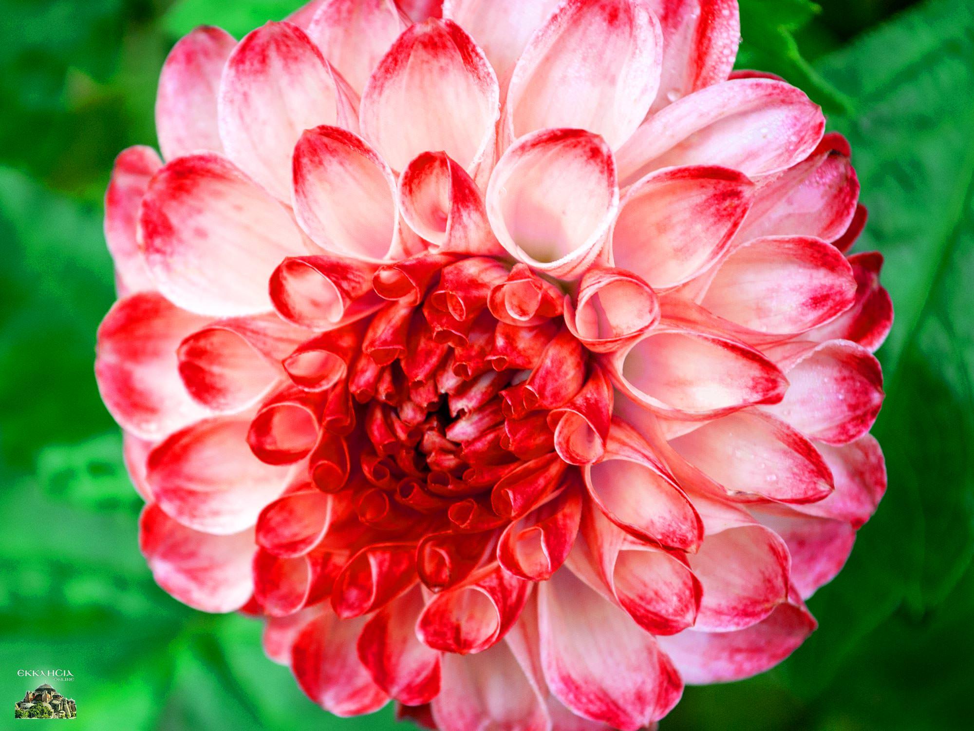 Γιορτή σήμερα κόκκινο λουλούδι