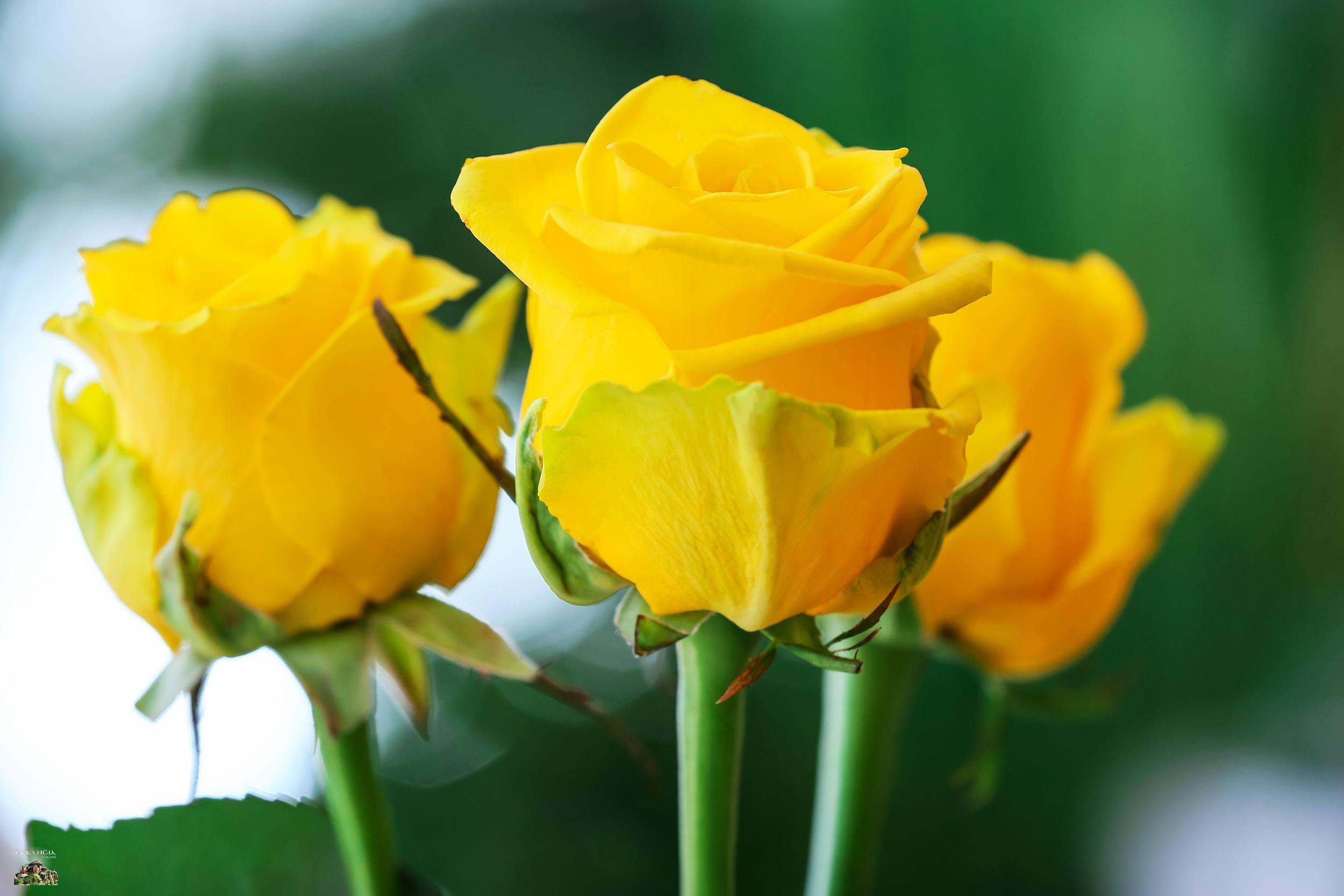 γιορτή σήμερα τριαντάφυλλα